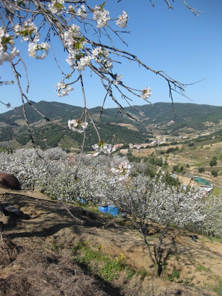 Cirerers d'Arenys de Munt